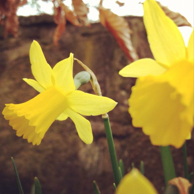 I Used To Pick Up Daffodils In The Spring With My Grandma When I Was A Child 3 Daffodils Love Flowers Flowers