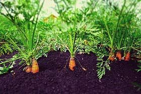 How To Grow Carrots Growing Carrots In Your Backyard Or 400 x 300