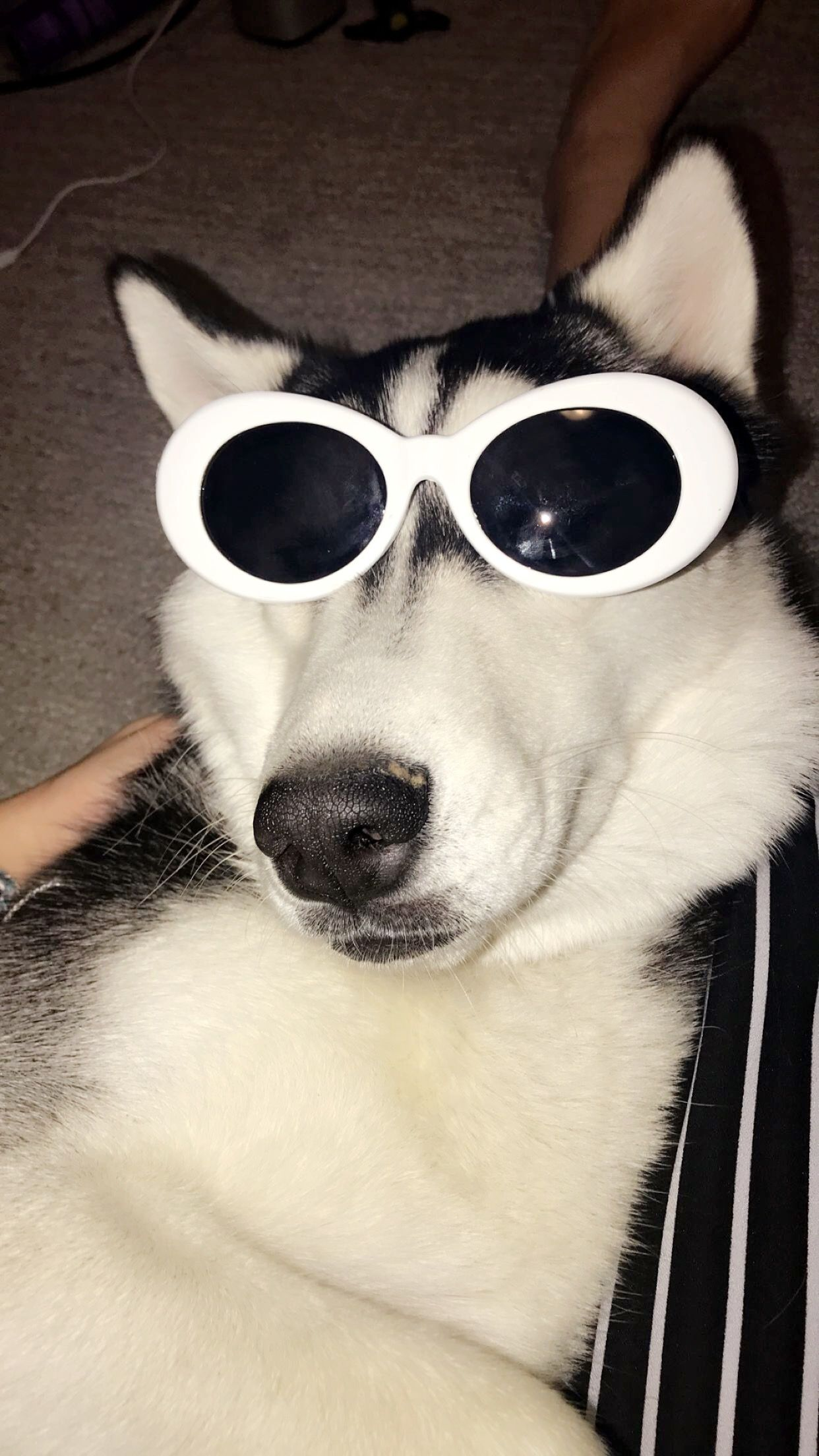 Puppers With Clout Dog Cloutglasses Husky Cute Animal Memes Cute Funny Animals Funny Animals