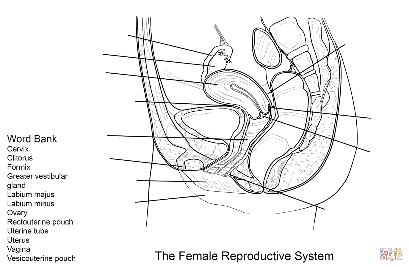 Female Reproductive System Worksheet Coloring Pages