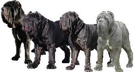 Neapolitan Mastiff Breeders Cinciripini S Neapolitan Mastiffs Neapolitan Mastiffs Lion Sculpture Mastiffs