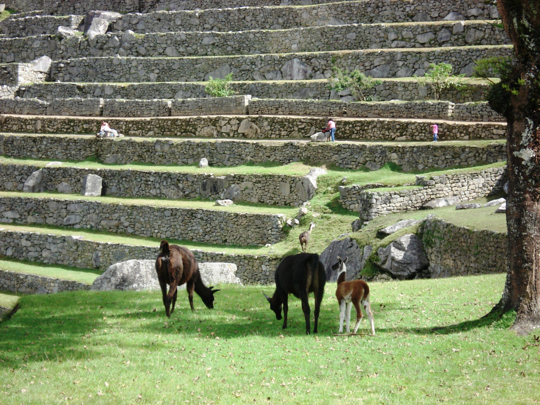 Vicuñas in Machu Picchu.
