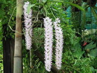 Native Myanmar Flowers Lovers Myanmar Orchid Rhynchostylis Retusa Orchids Flowers Myanmar