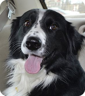 Border Collie Mix Dog for adoption in Independence