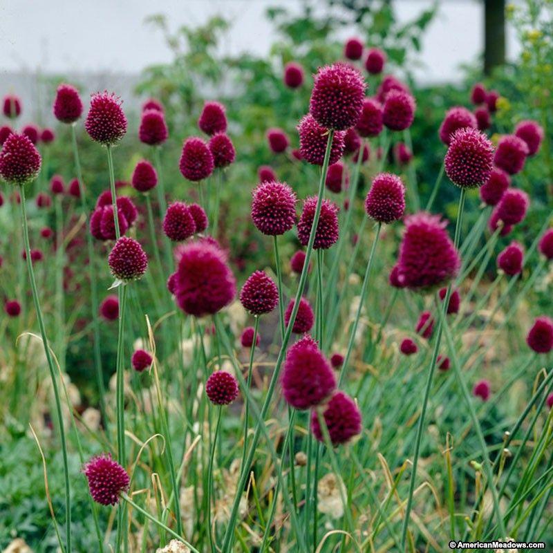 purple allium bulbs drumstick allium sphaerocephalon persian onion wv native plants for. Black Bedroom Furniture Sets. Home Design Ideas