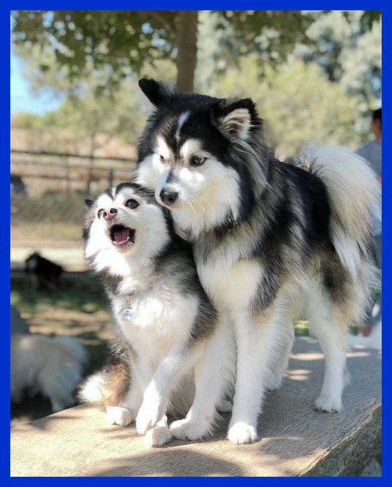 Everything You Want To Know About Pomsky Husky Pomeranian Including Alles Was Sie Uber Pomsky Husky Pomeranian Wiss In 2020 Pomsky Hund Hunderassen Niedliche Tiere