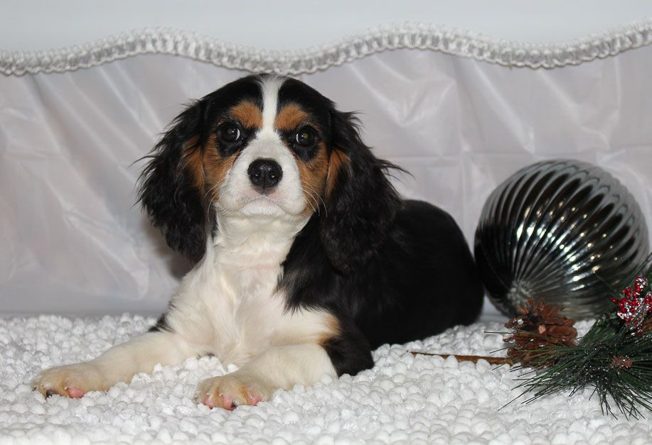 Cody A Male Akc Cavalier King Charles Puppy For Sale In Indiana Vip Puppies Puppies Puppies Near Me Puppy Adoption