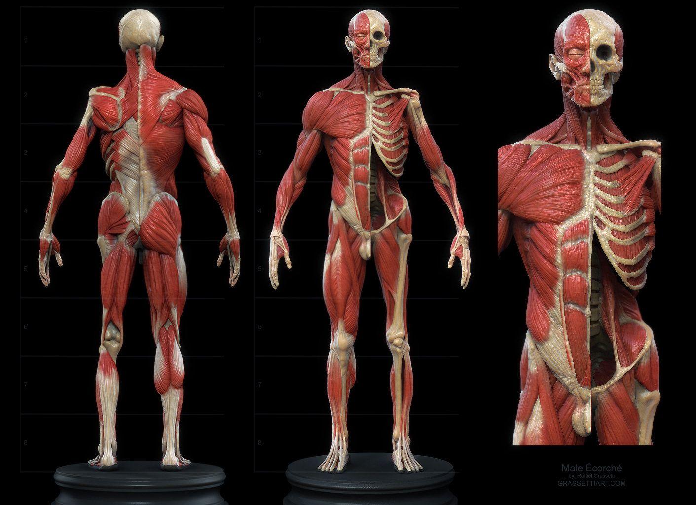 Ecorche Statue Rafael Grassetti Male Anatomy Anatomy