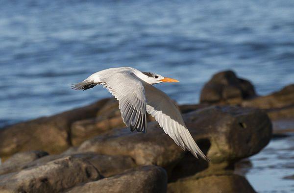 Tern flying in the LA Jolla skies.