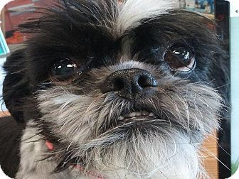 Shih Tzu Mix Dog For Adoption In Virginia Beach Virginia Kung Pao Adoption Adoption In Virginia Pets