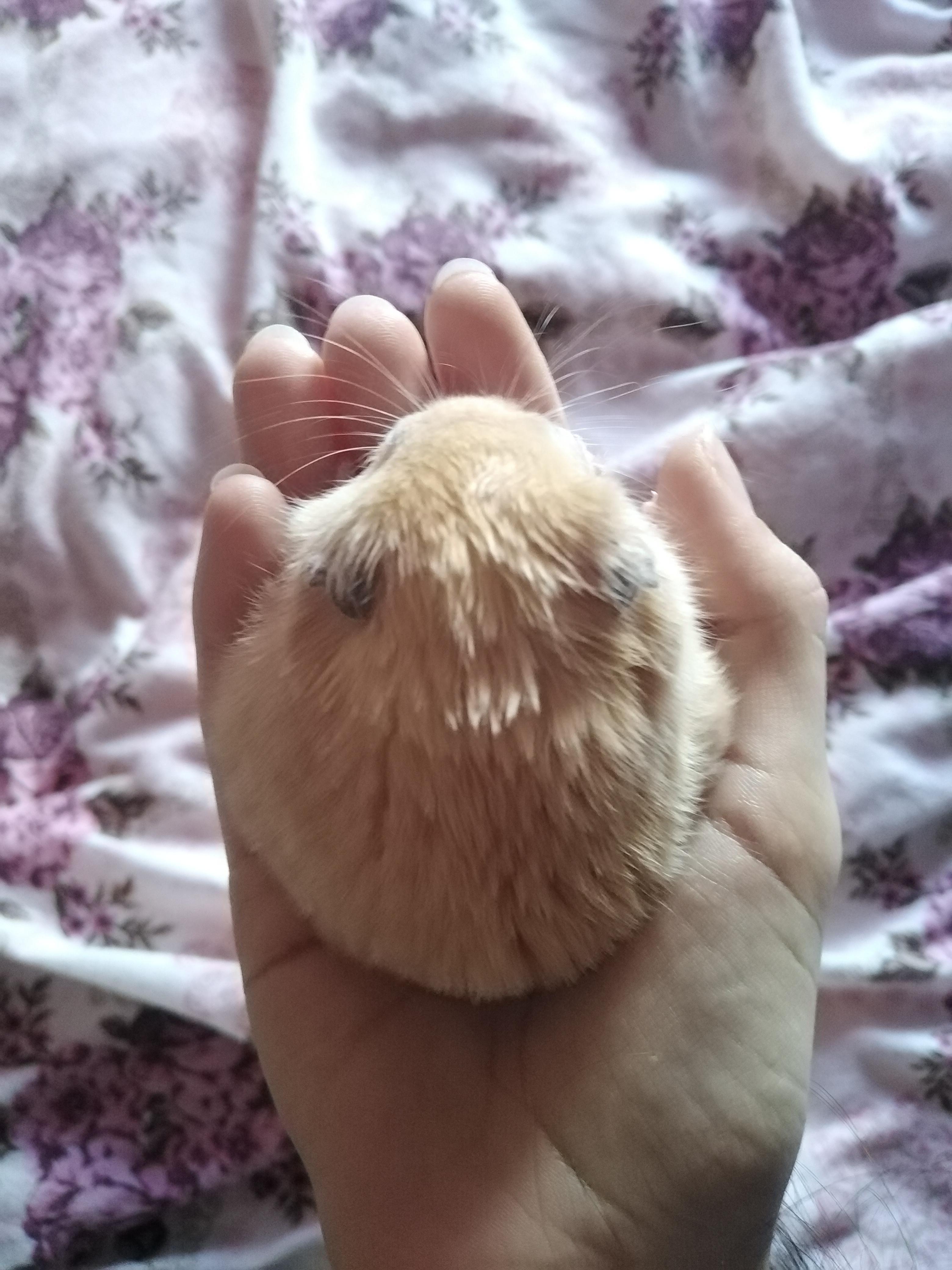 My blondie httpsifttt2oltljh in 2020 hamster