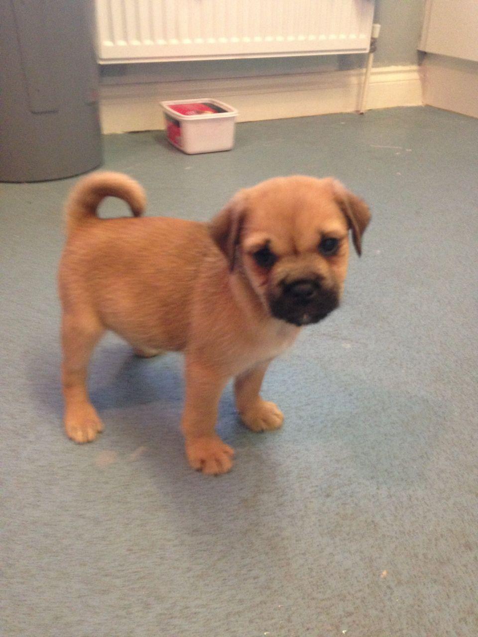B Jug B B Jack B B Russell B X B Pug B Puppy For Sale