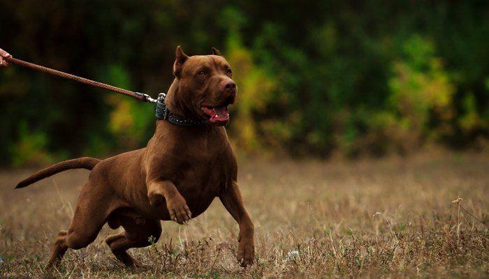 15 Most Popular Fighting Dog Breeds Dog Breeds Pitbull Dog