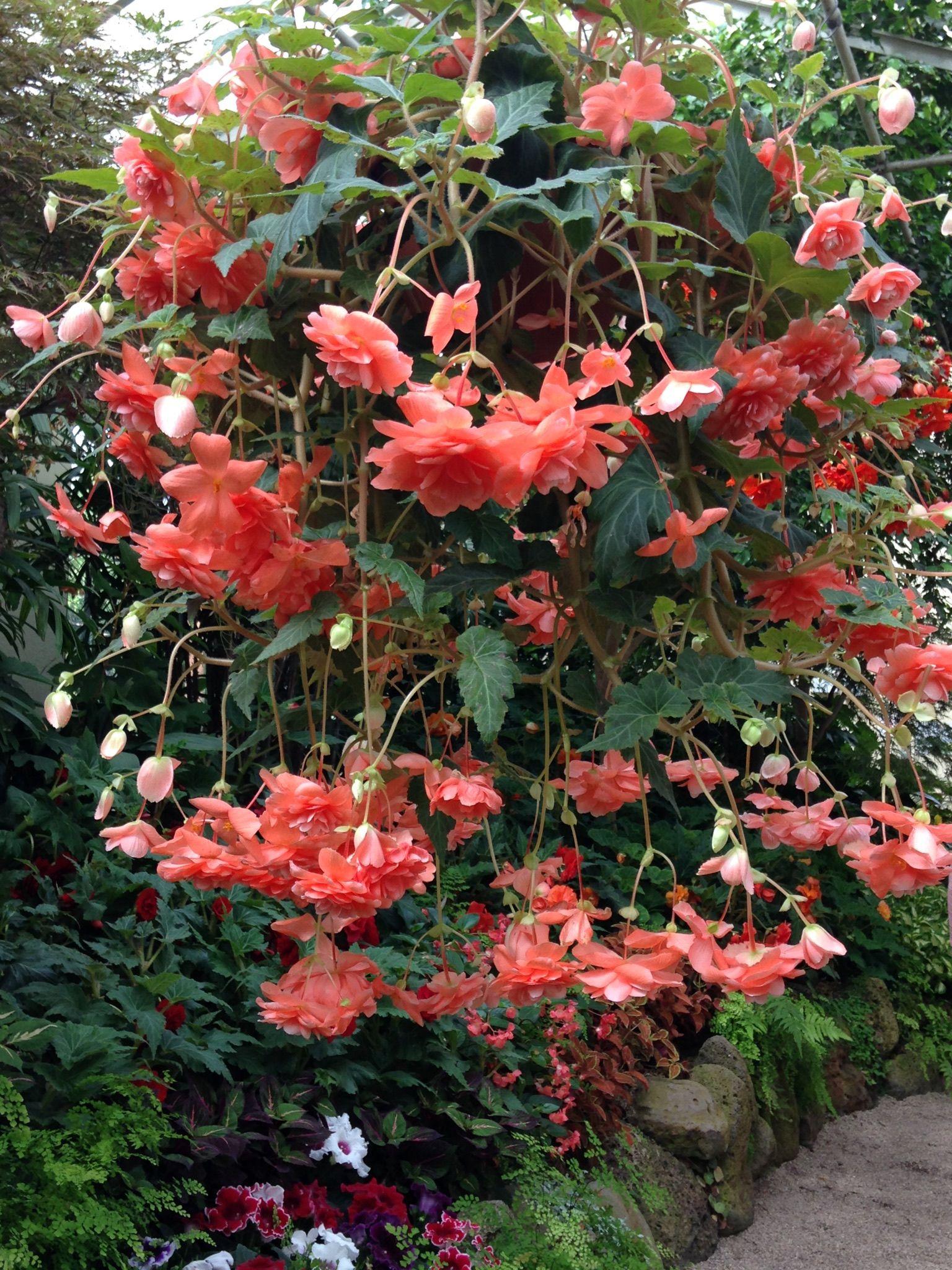 Begonias Fitzroy Gardens Melbourne Australia   Natural ...