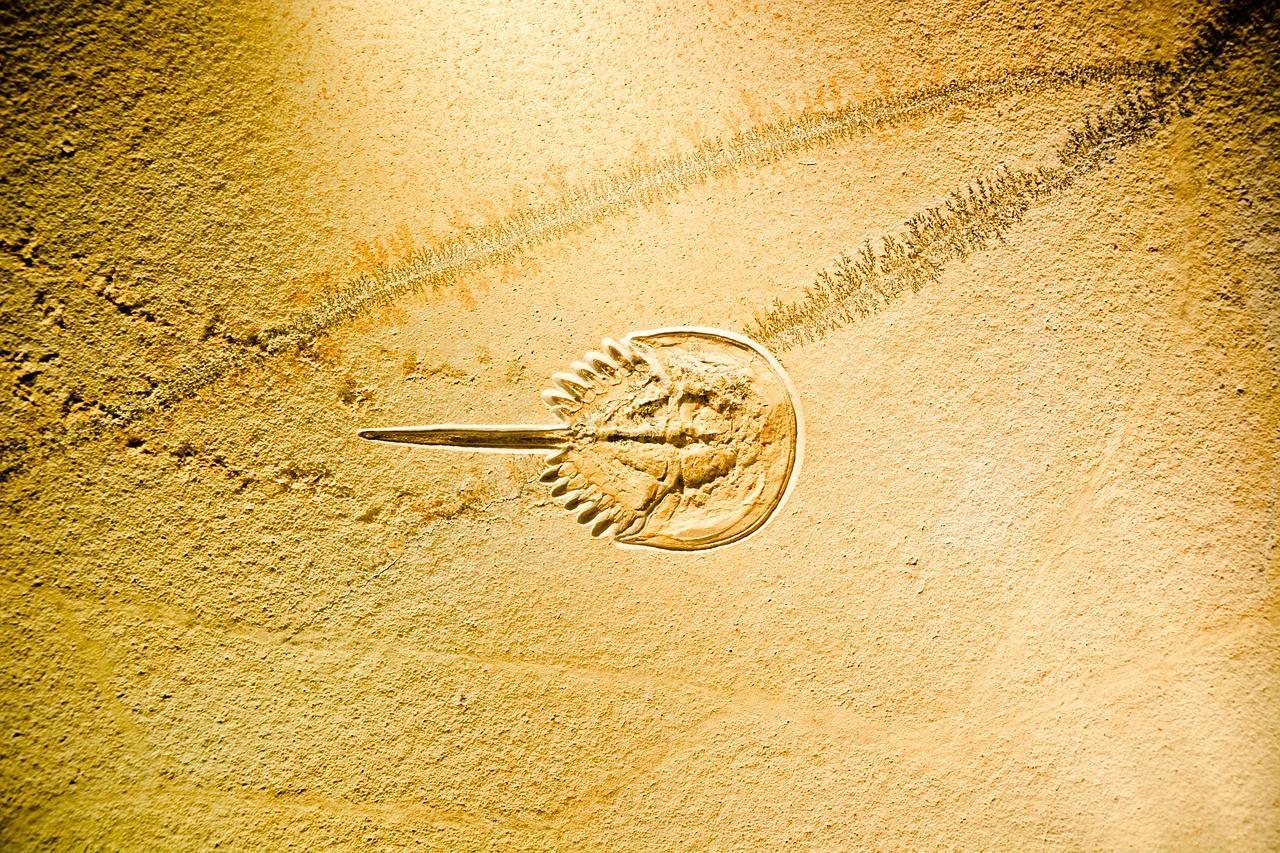 pixabay上的免费图片 马蹄蟹 limulidae 化石 urzeitkrebs 剑尾 fans online image free images