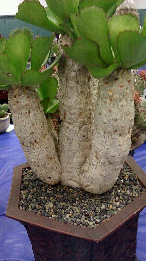 Euphorbia-unispina.jpg 575×1,024 pixels