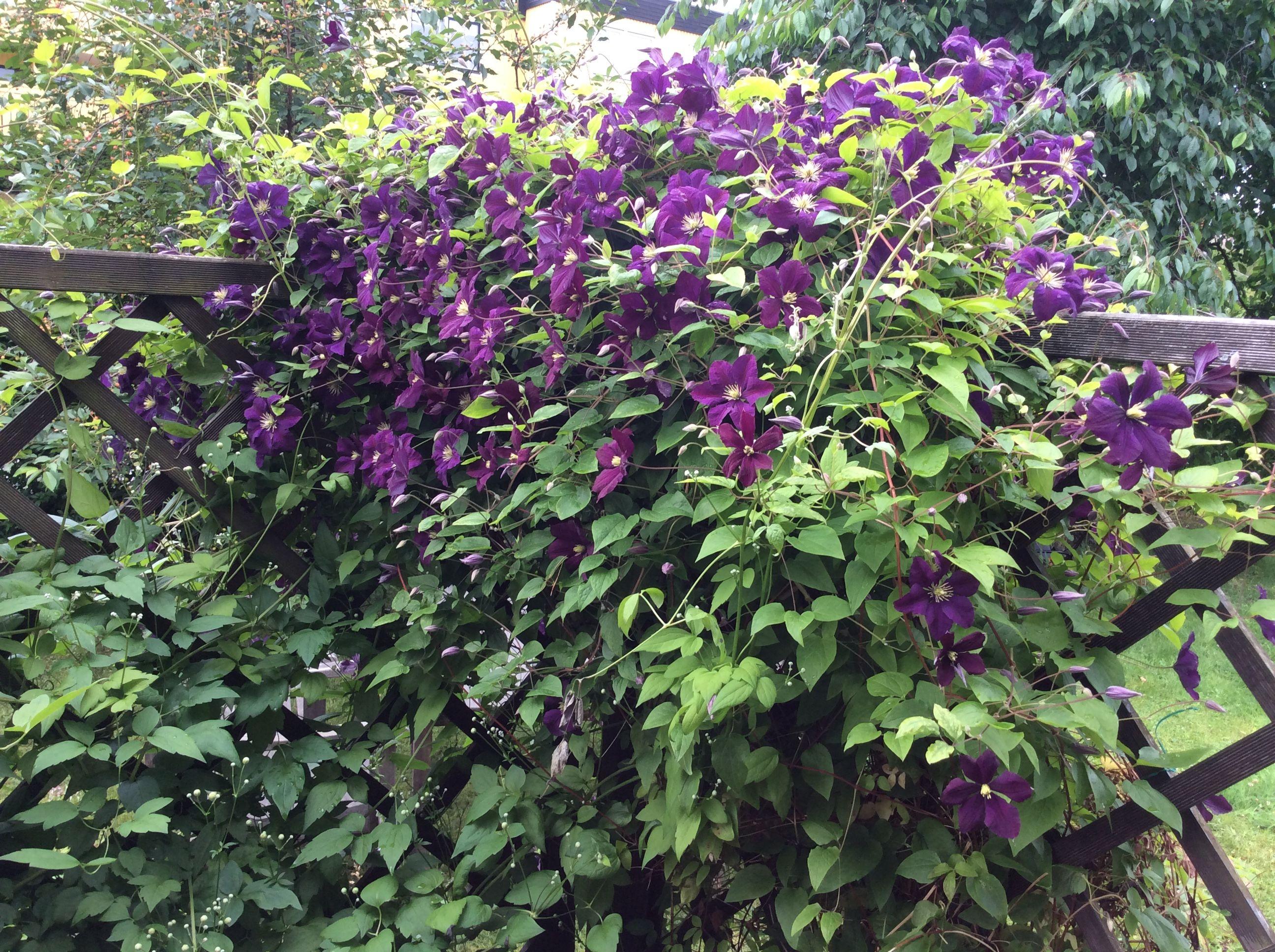 Violetti kärhö