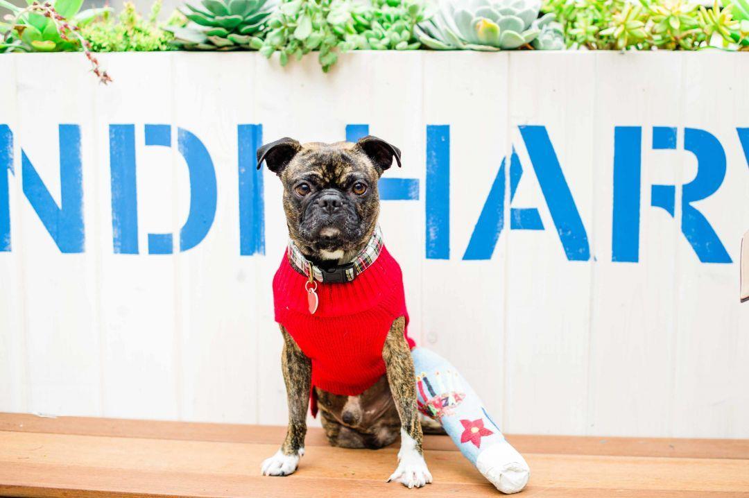Adopt Ophelia On Shih Tzu Shih Tzu Dog Adoption