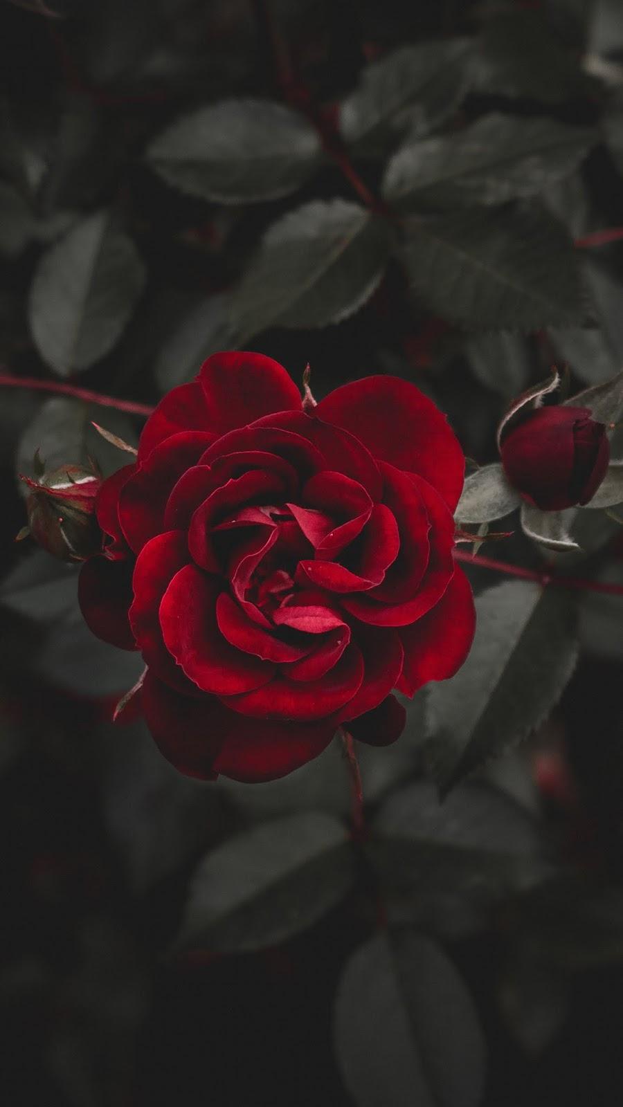 Red Rose Rose Flower Wallpaper Wallpaper Iphone Roses Red Roses Wallpaper