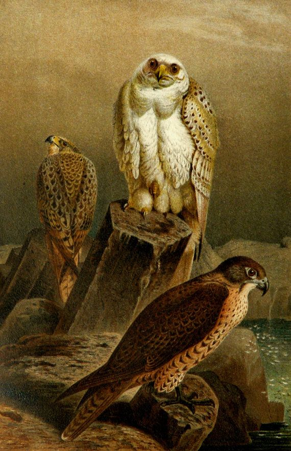 1890 Antique fine lithograph of a FALCONS. 123 years old gorgeous print.