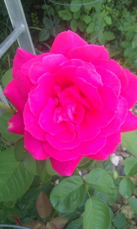 The Most Beautiful Rose Ever Flowers Pinterest