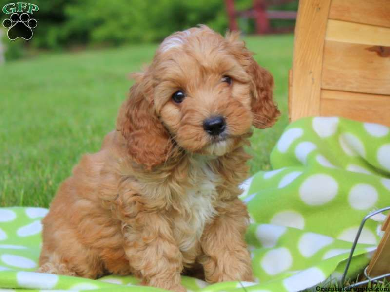 Cockapoo Puppies For Sale Cockapoo Dog Breed Info Cockapoo