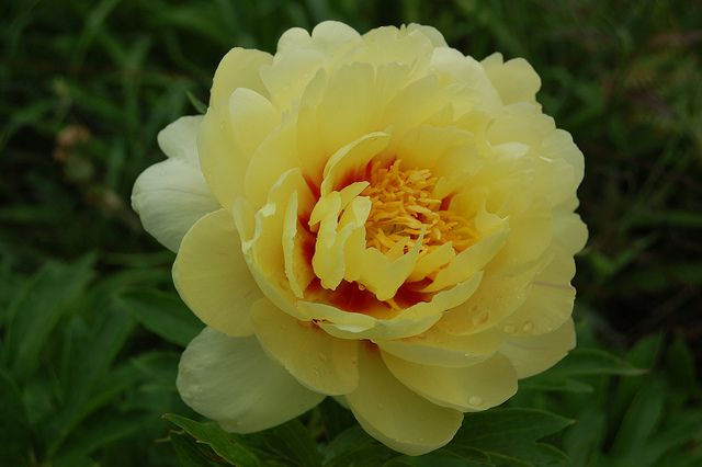 Image result for peonies different colours flowers to paint yellow flowers have the potential to bring joy to pretty much anyone here are some of the most coveted yellow flowers read to know the symbolism and mightylinksfo