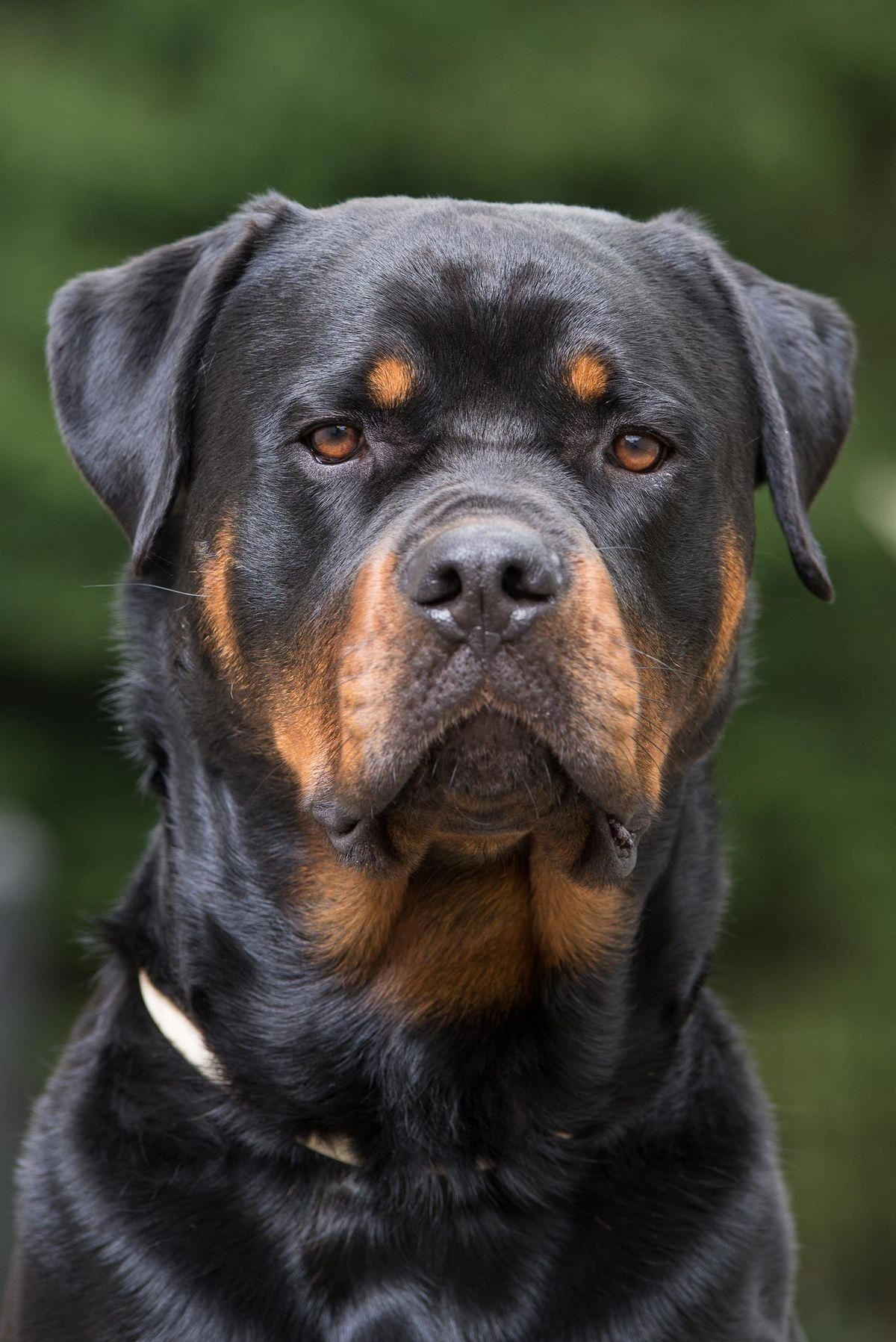 More About The Rottweiler Personality rottweilerbreed