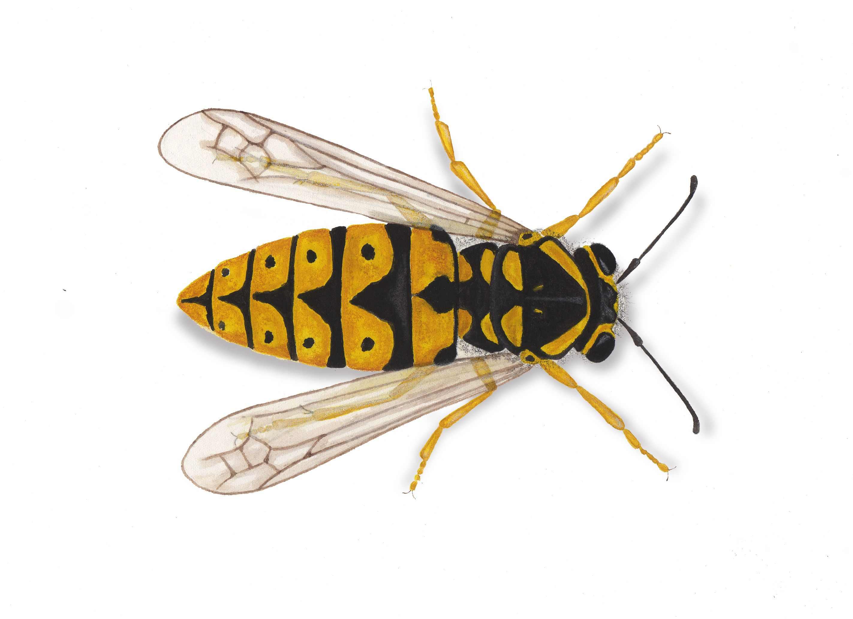 In Western States There Are Two Distinct Types Of Social Wasps Yellow Jackets And Paper Wasps Description From Qafymapas Keep Pl I Searched F Wasp Bee Get Rid Of Wasps