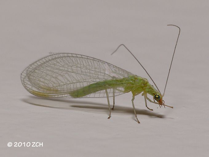 Gallery For Green Insect With Wings Wings Insects Green