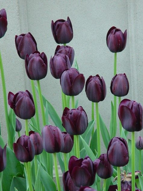queen of the night tulips...