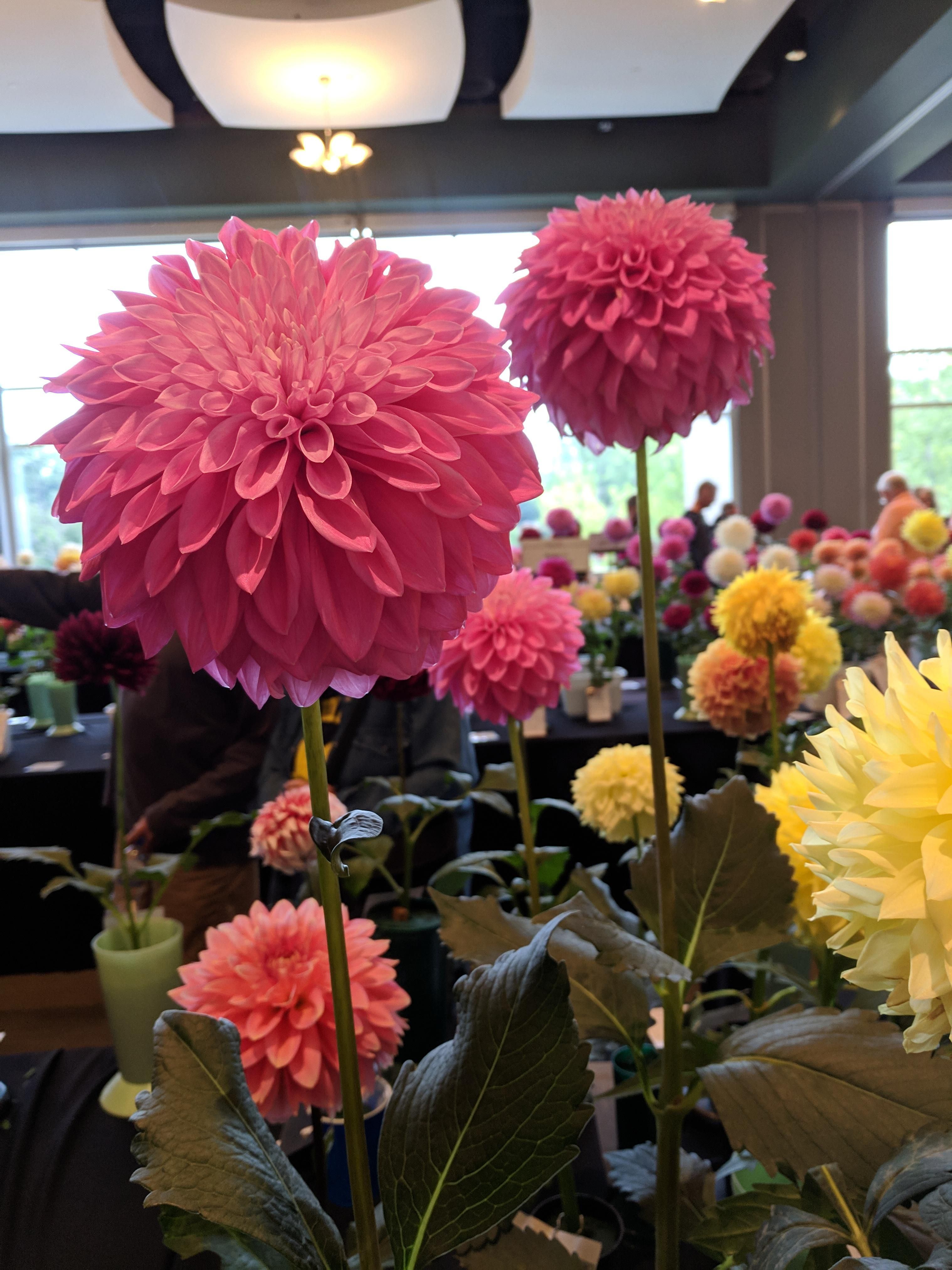 Dahlia Show The Lorax Cross Post From R Flowers Gardening Garden Diy Home Flowers Roses Nature Landscaping Horticulture Flowers The Lorax Dahlia