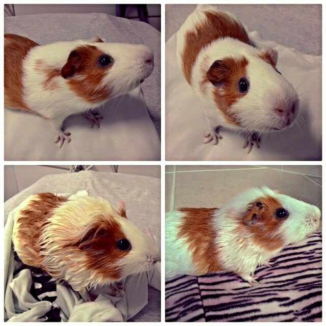 Pin On My Guinea Pig Hope