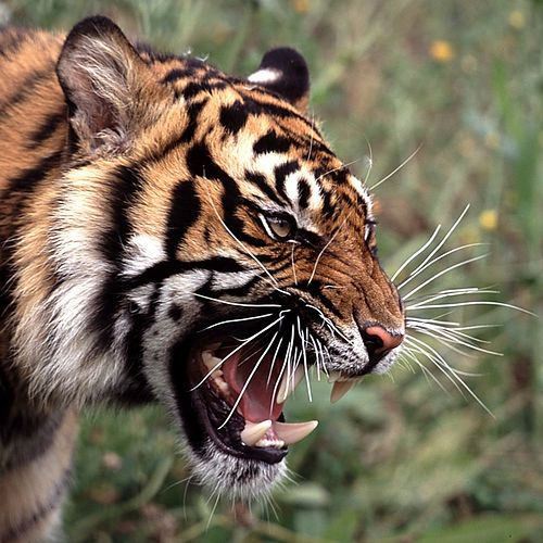 Tiger Face Portrait In A Square Flickr Photo Sharing Tiger Roaring Tiger Pictures Tiger Face