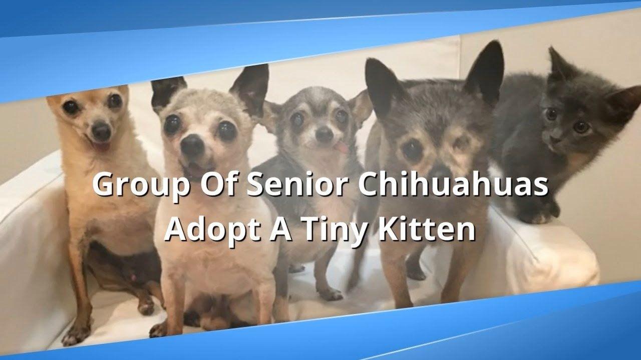 Group Of Senior Chihuahuas Adopt A Tiny Kitten Petlove