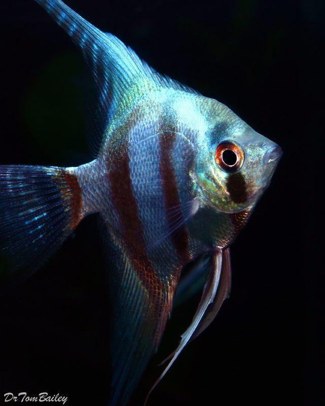 Black Freshwater Angelfish Hd Angelfish For Sale At