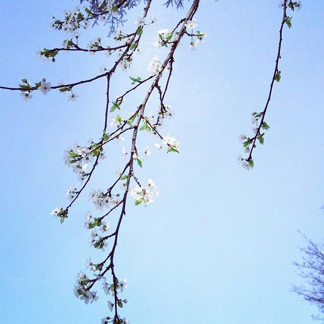 Sentir les rayons du soleil et les odeurs des premières fleurs #fmsphotoaday #fms_aroma #aroma #fmspad #littlemomentsapp #spring #springiscoming #flower #flowers #cielbleu #mylife #instamoment #photoday #instaday #instaphoto #instaaroma #instaflower #instaspring #instalove #happyday #lovenature #nature #instanature