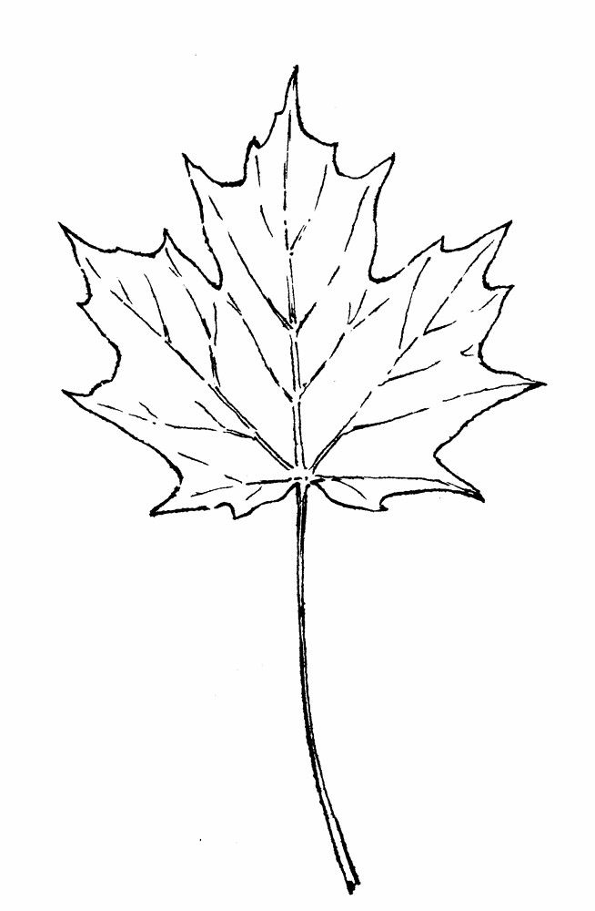Acer Saccharum Sugar Maple Go Botany Dibujos De Arboles Tatuaje Arbol Tatuaje De Un Roble