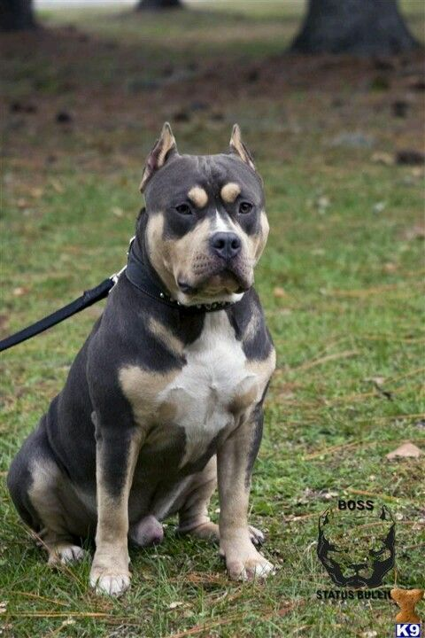 Black And Tan Dogs Bully Breeds Pitbull Dog