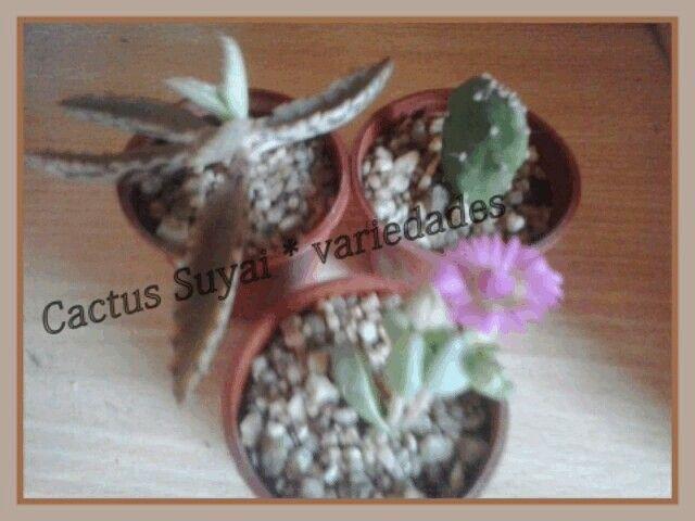 Cactus Suyai variedades x mayor. Santiago. Chile