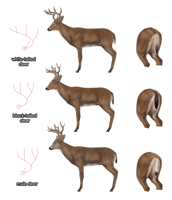 My New Mule Deer Nose Cast Anatomy For Art Animals