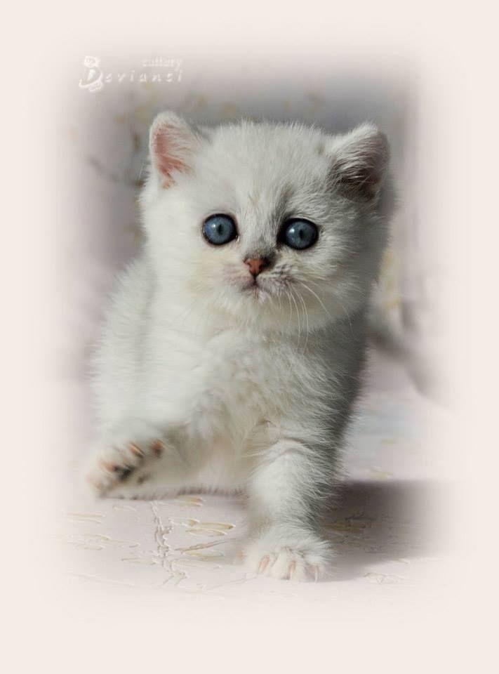 British Shorthair Femelle Black Silver Shaded Cat Chat Britishshorthair Animal Arthoria Bordeaux Cute Cuteness Love Art Baby Cats Cattery Animals