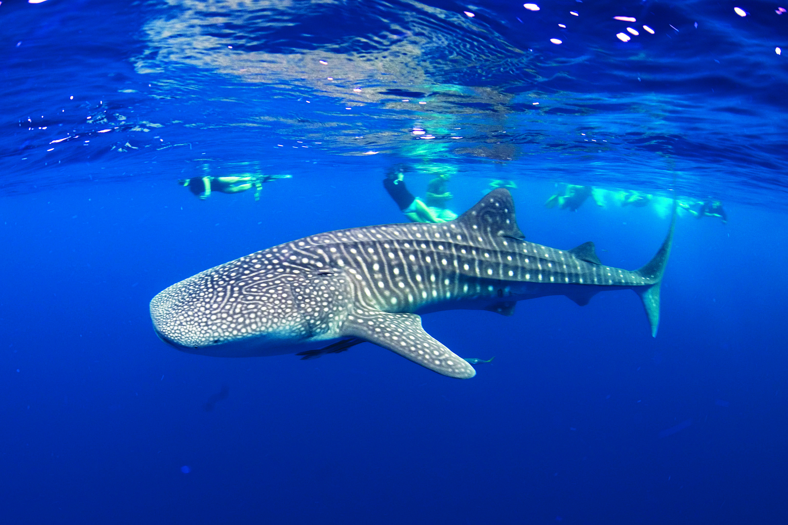 Whale Shark Diving in Holbox, Quintana Roo