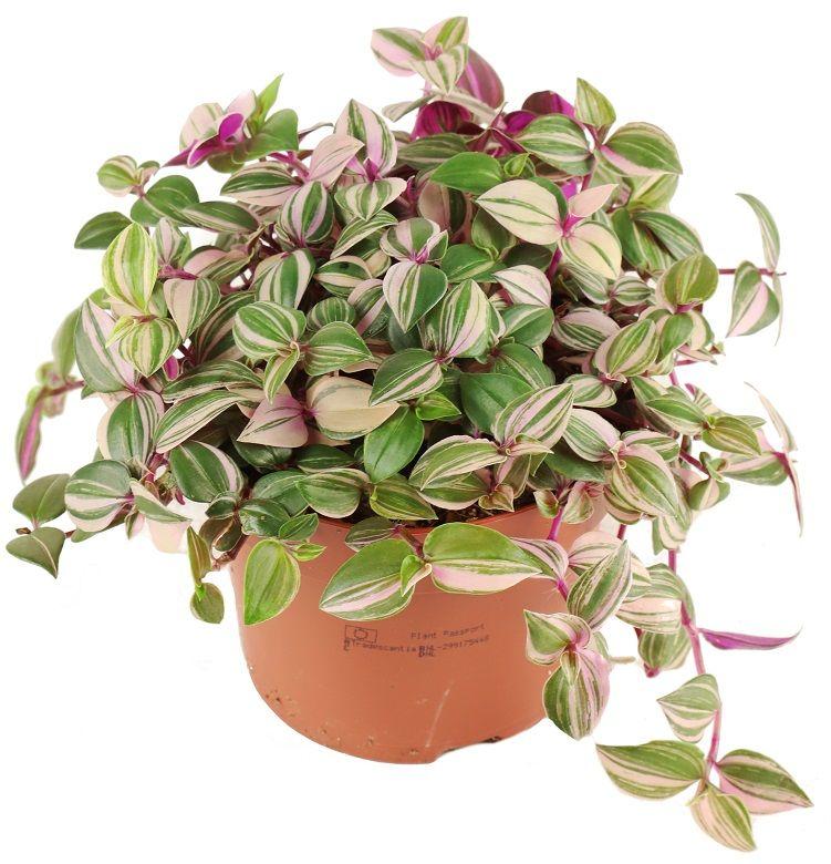 Tradescantia Fluminensis Tricolor Trzykrotka Zielony Parapet Plantas De Interior Plantas Colores