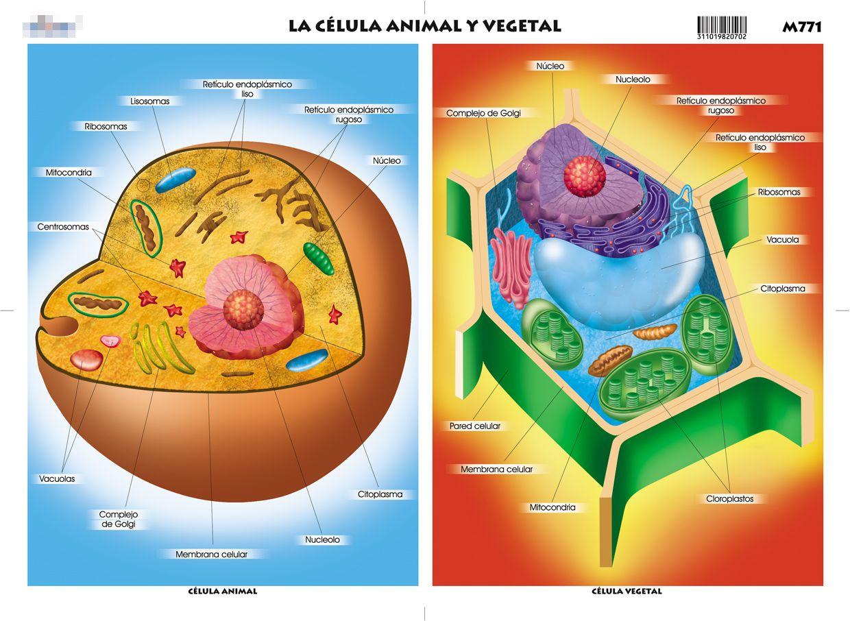 imagenes de la celula vegetal con sus partes  Google Search