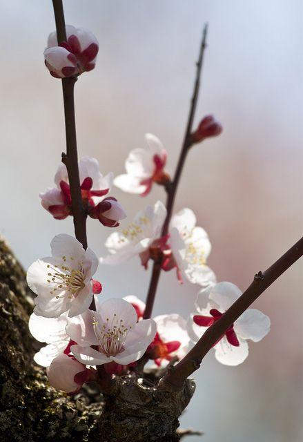 Ume Cherry Blossom Flowers Cherry Flower Most Beautiful Flowers