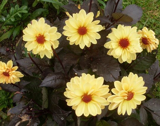 Dahlia 'Chic Yellow'. Black foliage and pastel yellow blooms.