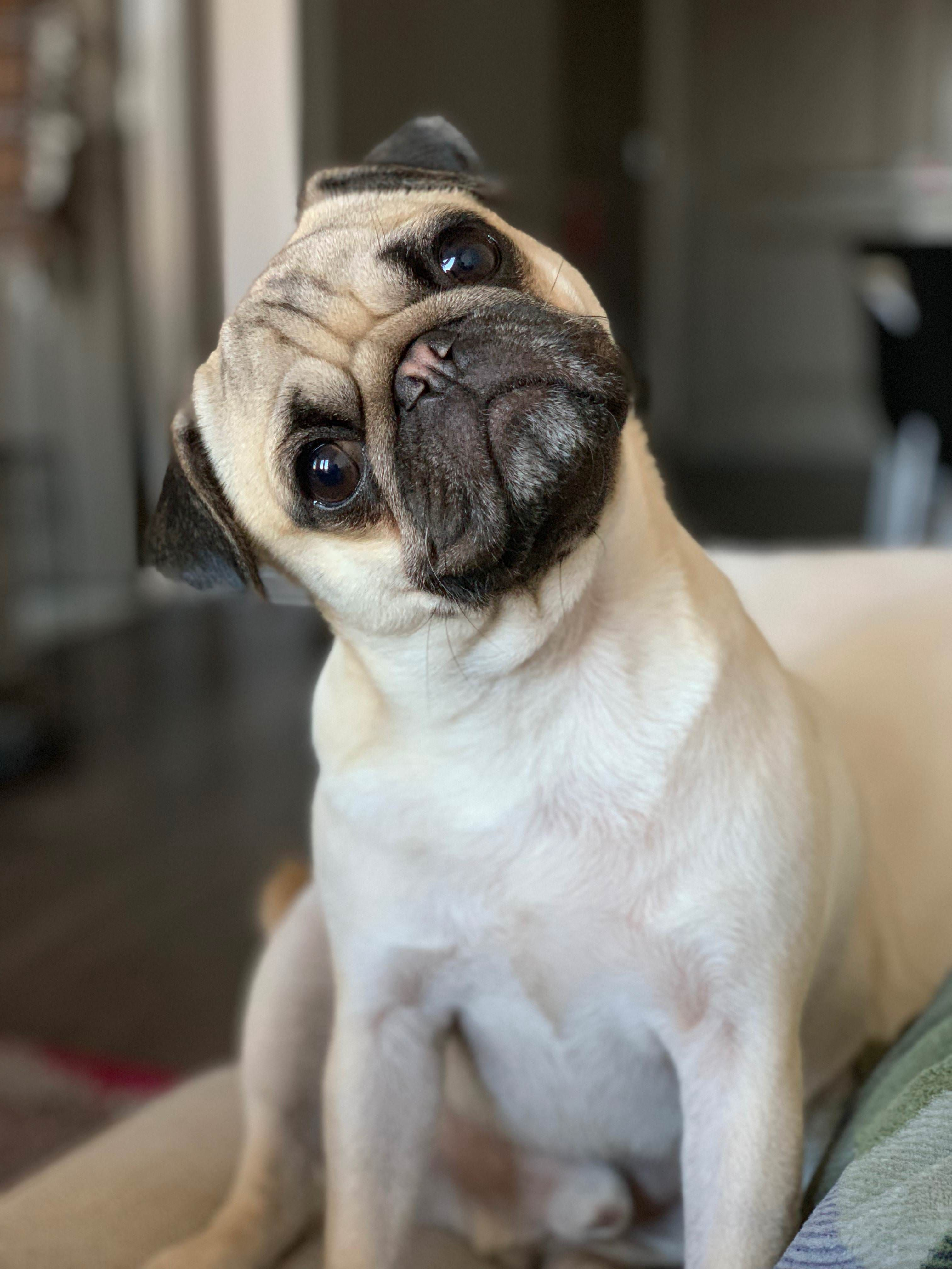 Did You Say Dinner Https Ift Tt 2qrxjut Baby Pugs Pugs Cute