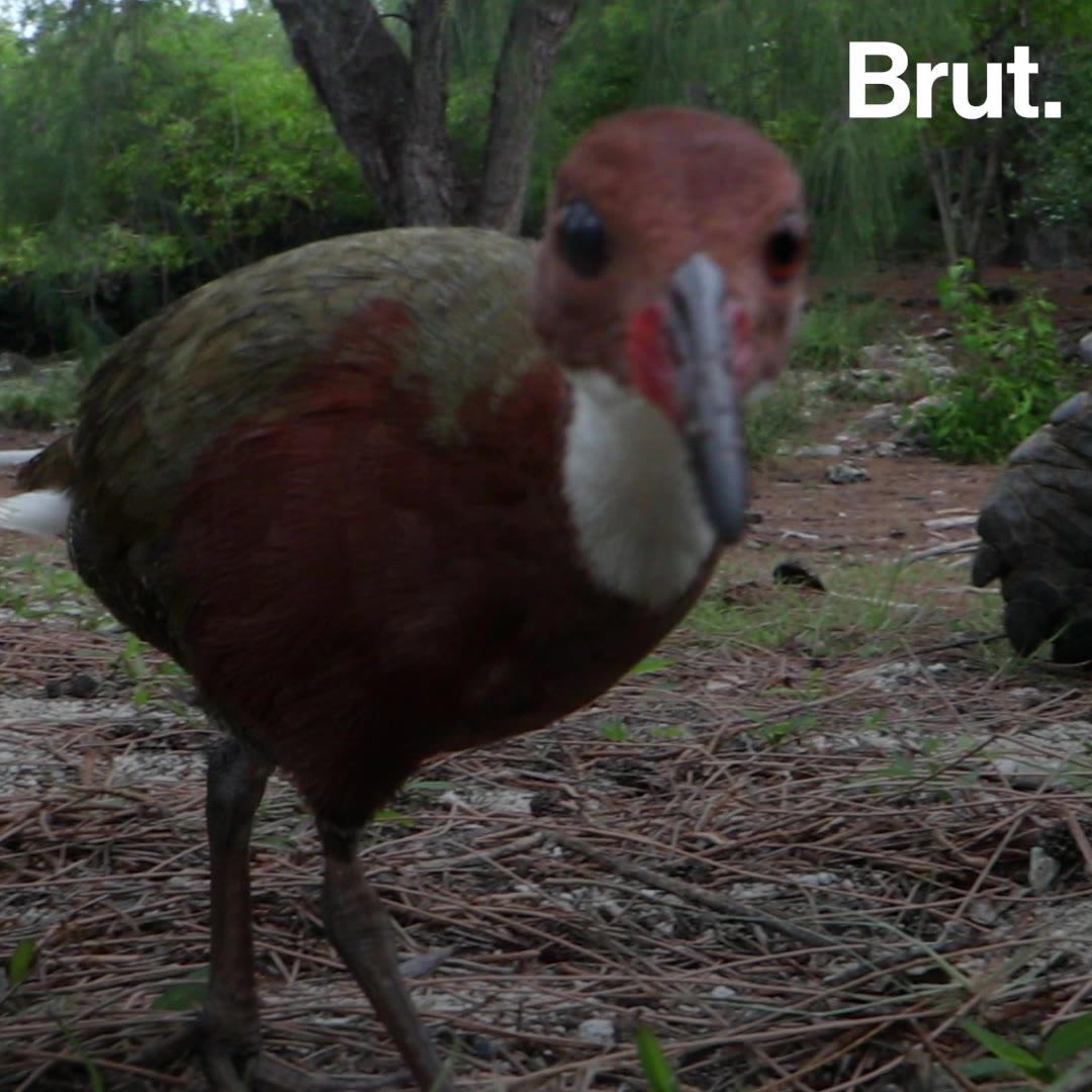Extinct 136,000 years ago, this bird came back through a