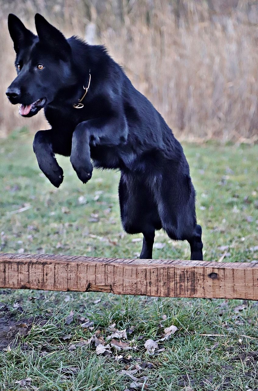 10 Pro Tips For Dog Training By Experts Black German Shepherd
